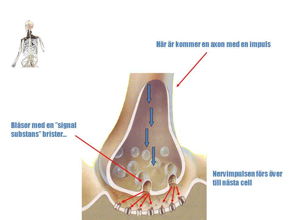 """Kroppens Nervsystem Micke Sundström © Synaps Här är kommer en axon med en impuls Blåsor med en """"signal substans"""" brister… Nervimpulsen förs över till"""