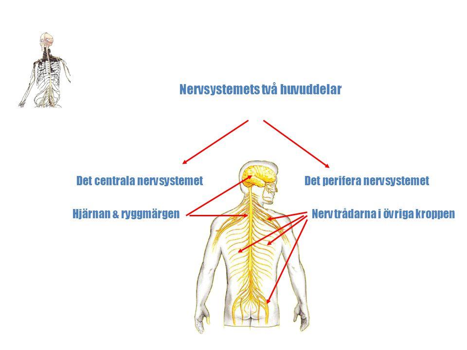 Kroppens Nervsystem Nervsystemets två huvuddelar Det centrala nervsystemetDet perifera nervsystemet Hjärnan & ryggmärgenNervtrådarna i övriga kroppen
