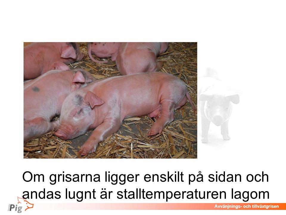 Avvänjnings- och tillväxtgrisen Om grisarna ligger enskilt på sidan och andas lugnt är stalltemperaturen lagom