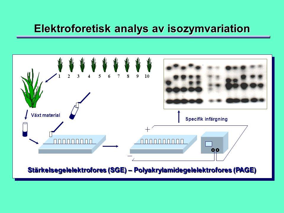 Elektroforetisk analys av isozymvariation Växt material Specifik infärgning 1 2 3 4 5 6 7 8 9 10 Stärkelsegelelektrofores (SGE) – Polyakrylamidegelelektrofores (PAGE)
