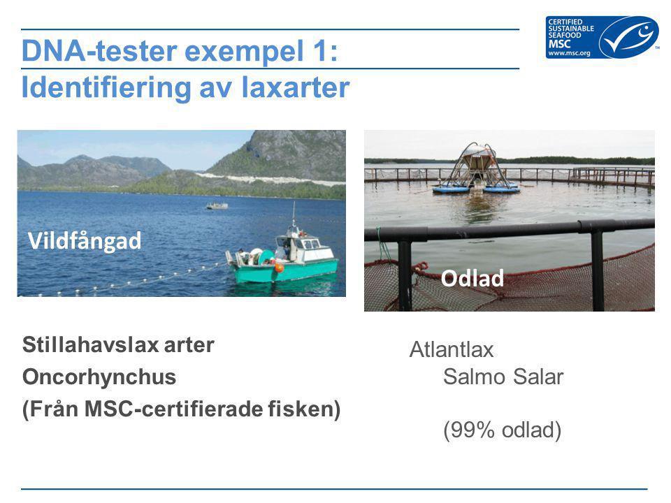 Stillahavslax arter Oncorhynchus (Från MSC-certifierade fisken) DNA-tester exempel 1: Identifiering av laxarter Vildfångad Odlad Atlantlax Salmo Salar (99% odlad)
