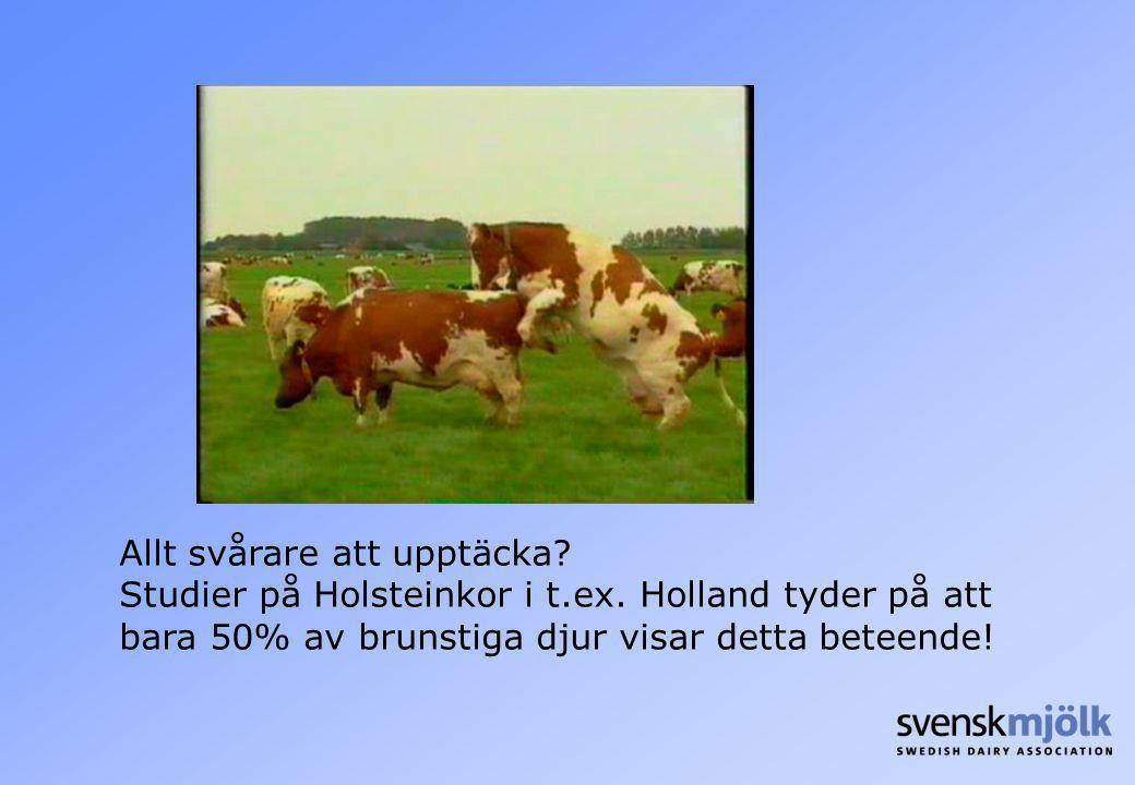 Allt svårare att upptäcka? Studier på Holsteinkor i t.ex. Holland tyder på att bara 50% av brunstiga djur visar detta beteende!