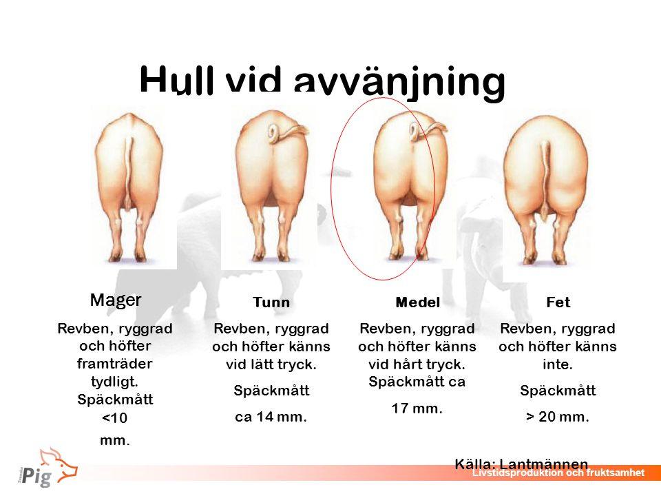 Livstidsproduktion och fruktsamhet Hull vid avvänjning  Mager Revben, ryggrad och höfter framträder tydligt. Späckmått <10 mm. Tunn Revben, ryggrad o
