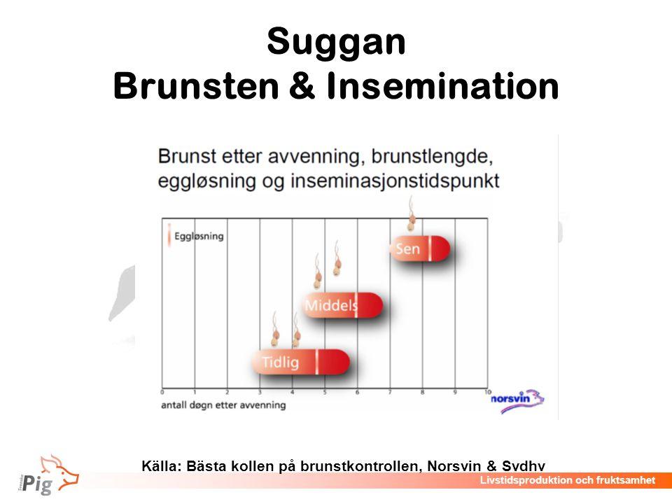 Livstidsproduktion och fruktsamhet Suggan Brunsten & Insemination Källa: Bästa kollen på brunstkontrollen, Norsvin & Svdhv