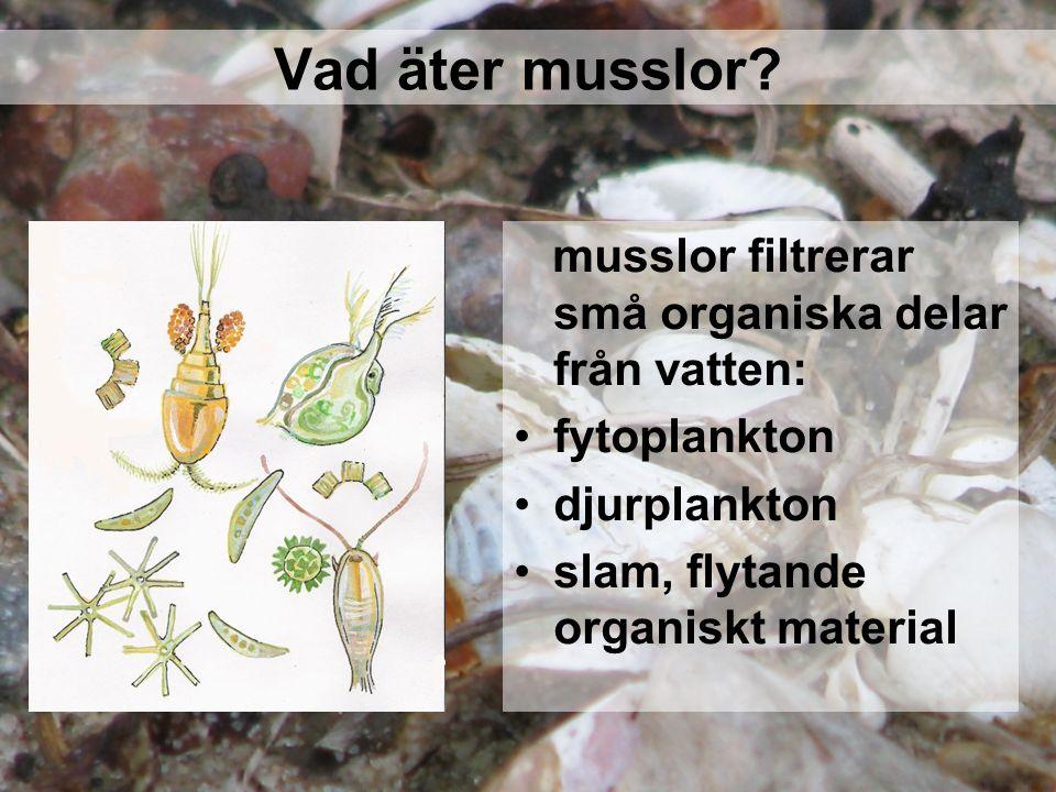 Vad äter musslor? musslor filtrerar små organiska delar från vatten: fytoplankton djurplankton slam, flytande organiskt material