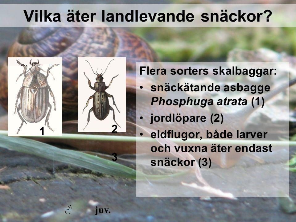 Vilka äter landlevande snäckor? Flera sorters skalbaggar: snäckätande asbagge Phosphuga atrata (1) jordlöpare (2) eldflugor, både larver och vuxna äte