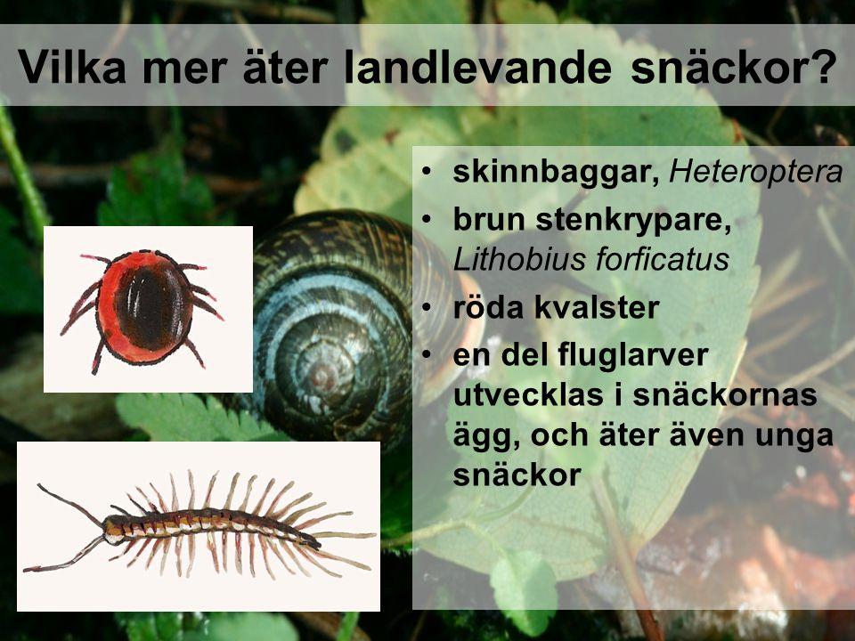 skinnbaggar, Heteroptera brun stenkrypare, Lithobius forficatus röda kvalster en del fluglarver utvecklas i snäckornas ägg, och äter även unga snäckor