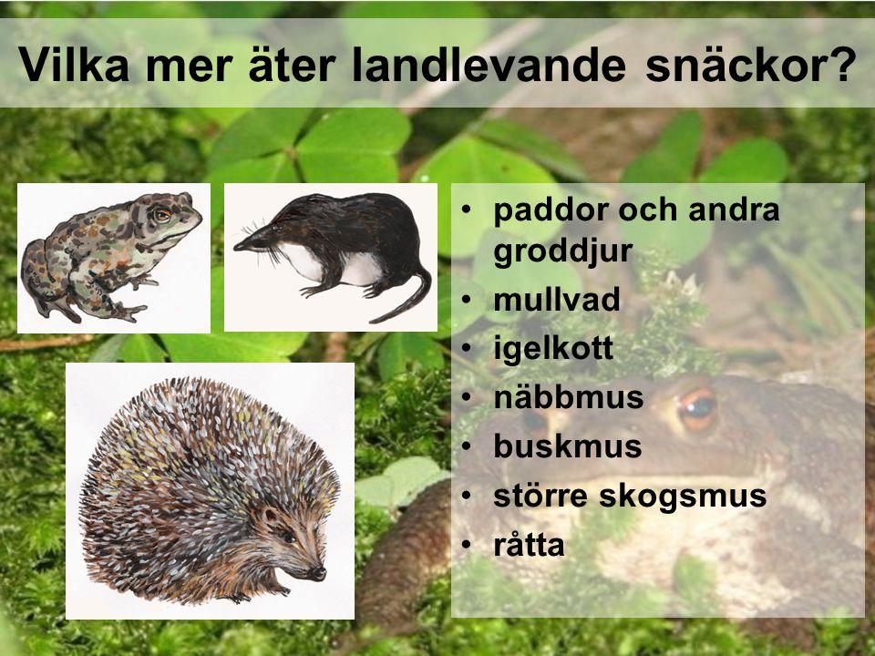 Vilka mer äter landlevande snäckor? paddor och andra groddjur mullvad igelkott näbbmus buskmus större skogsmus råtta