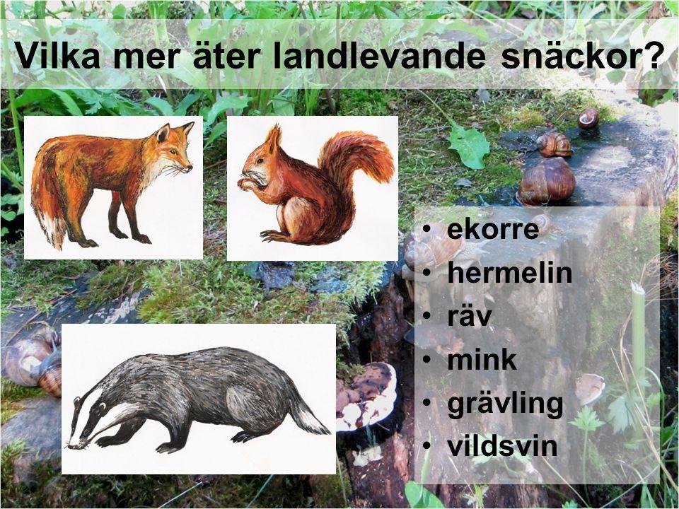 ekorre hermelin räv mink grävling vildsvin Vilka mer äter landlevande snäckor?