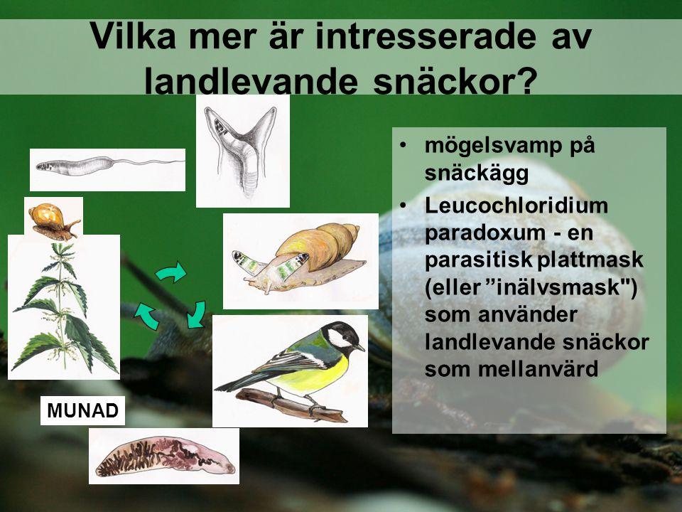 """mögelsvamp på snäckägg Leucochloridium paradoxum - en parasitisk plattmask (eller """"inälvsmask"""