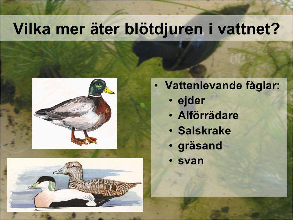 Vilka mer äter blötdjuren i vattnet? Vattenlevande fåglar: ejder Alförrädare Salskrake gräsand svan