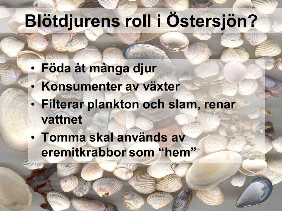 Blötdjurens roll i Östersjön? Föda åt många djur Konsumenter av växter Filterar plankton och slam, renar vattnet Tomma skal används av eremitkrabbor s