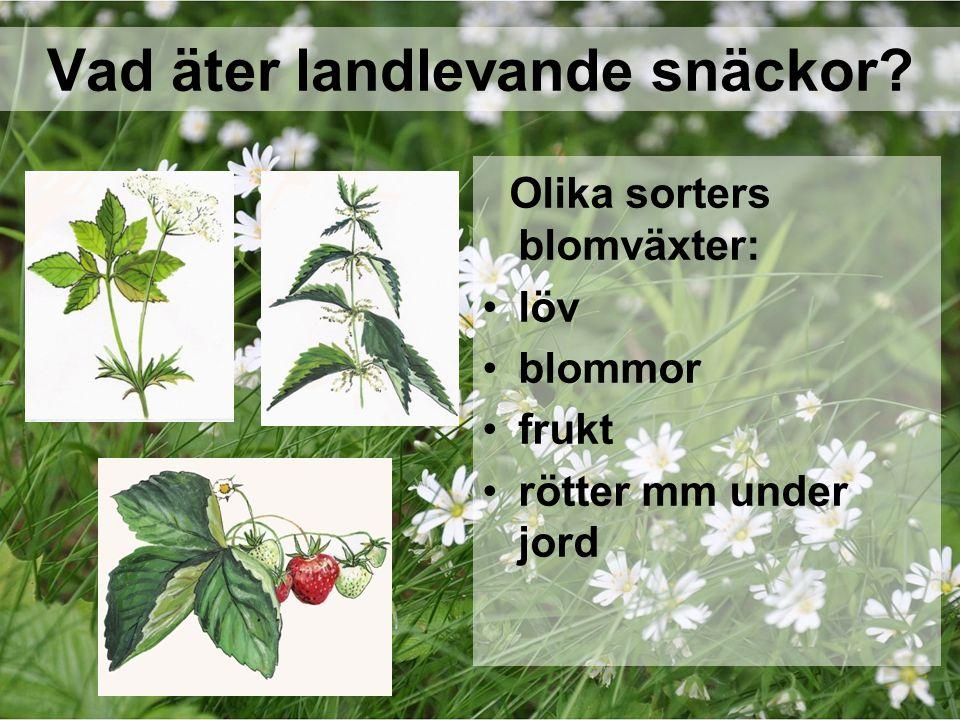 Vad äter landlevande snäckor? Olika sorters blomväxter: löv blommor frukt rötter mm under jord