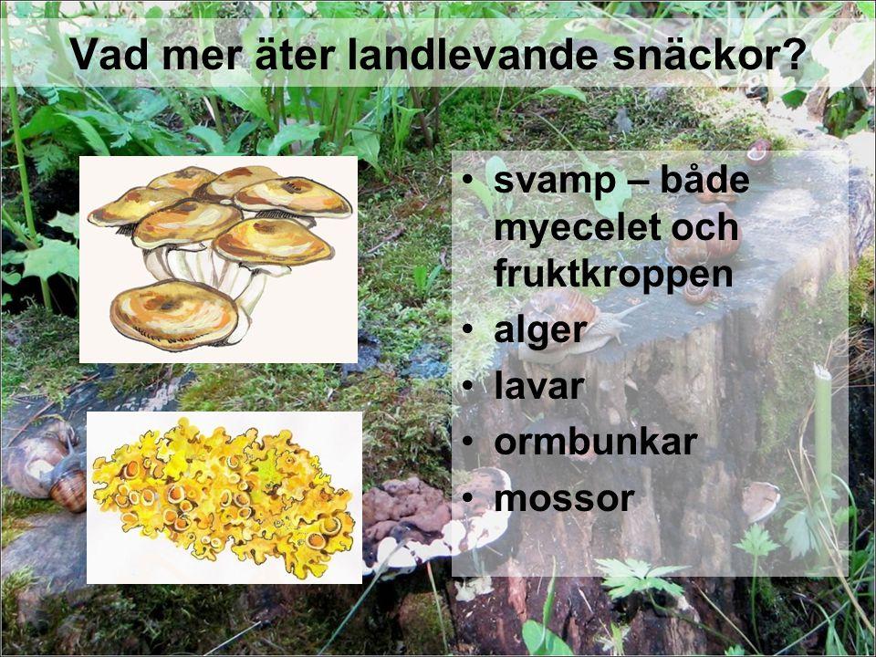Vad mer äter landlevande snäckor? svamp – både myecelet och fruktkroppen alger lavar ormbunkar mossor