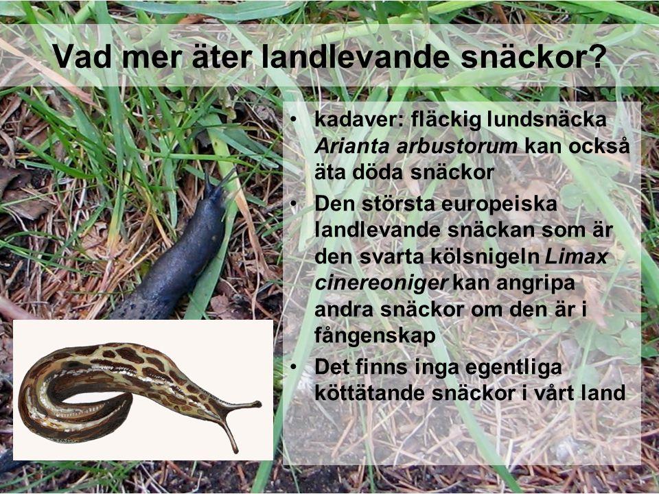 Vad mer äter landlevande snäckor? kadaver: fläckig lundsnäcka Arianta arbustorum kan också äta döda snäckor Den största europeiska landlevande snäckan