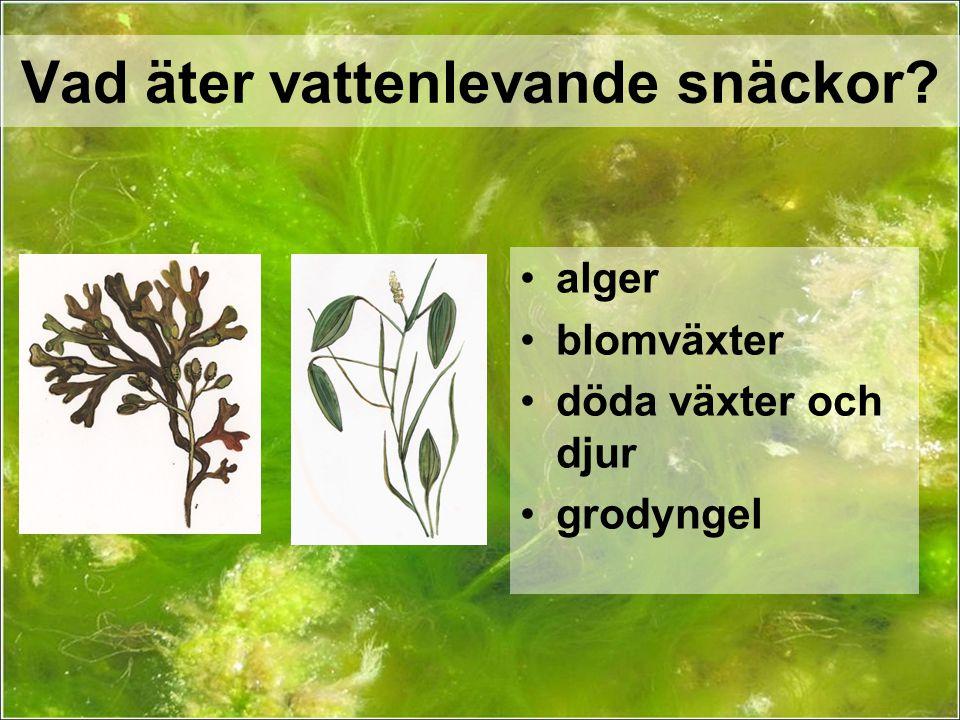Vad äter vattenlevande snäckor? alger blomväxter döda växter och djur grodyngel