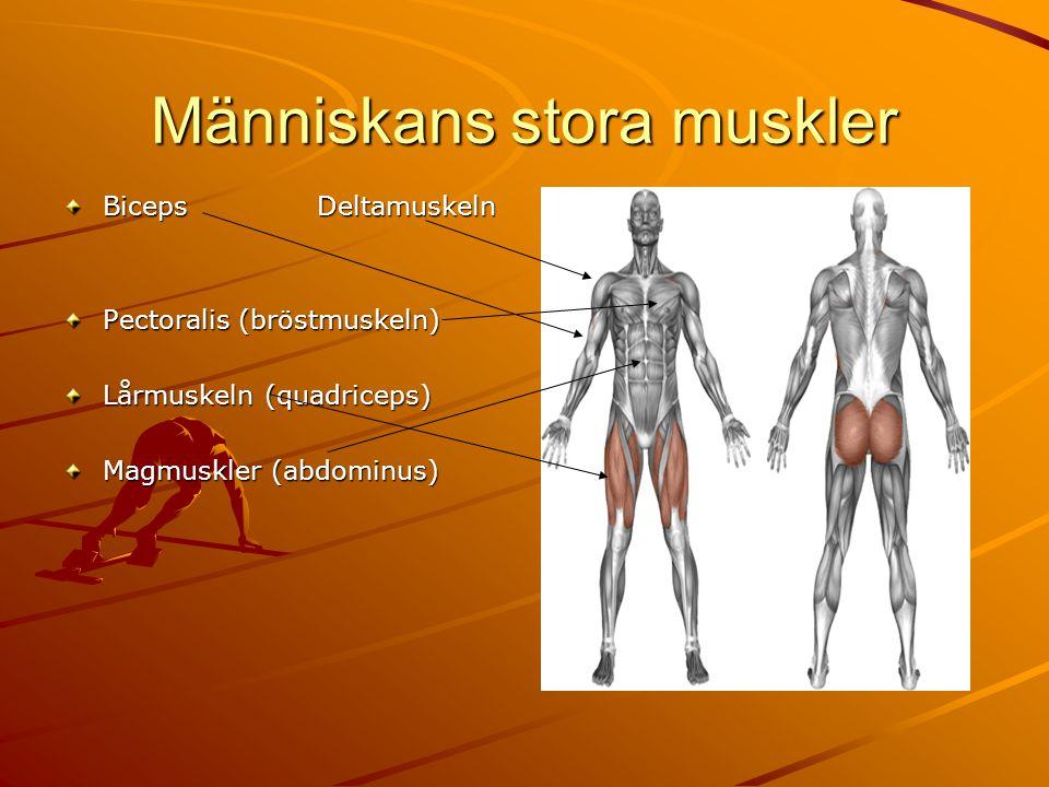 Människans stora muskler Biceps Deltamuskeln Pectoralis (bröstmuskeln) Lårmuskeln (quadriceps) Magmuskler (abdominus)