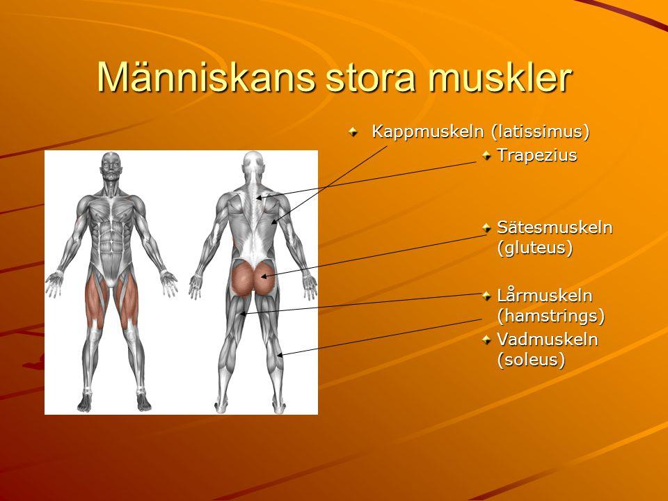 Människans stora muskler Kappmuskeln (latissimus) Trapezius Sätesmuskeln (gluteus) Lårmuskeln (hamstrings) Vadmuskeln (soleus)
