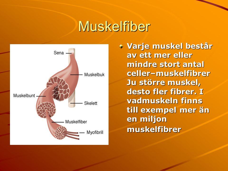 Muskelfiber Varje muskel består av ett mer eller mindre stort antal celler–muskelfibrer Ju större muskel, desto fler fibrer. I vadmuskeln finns till e
