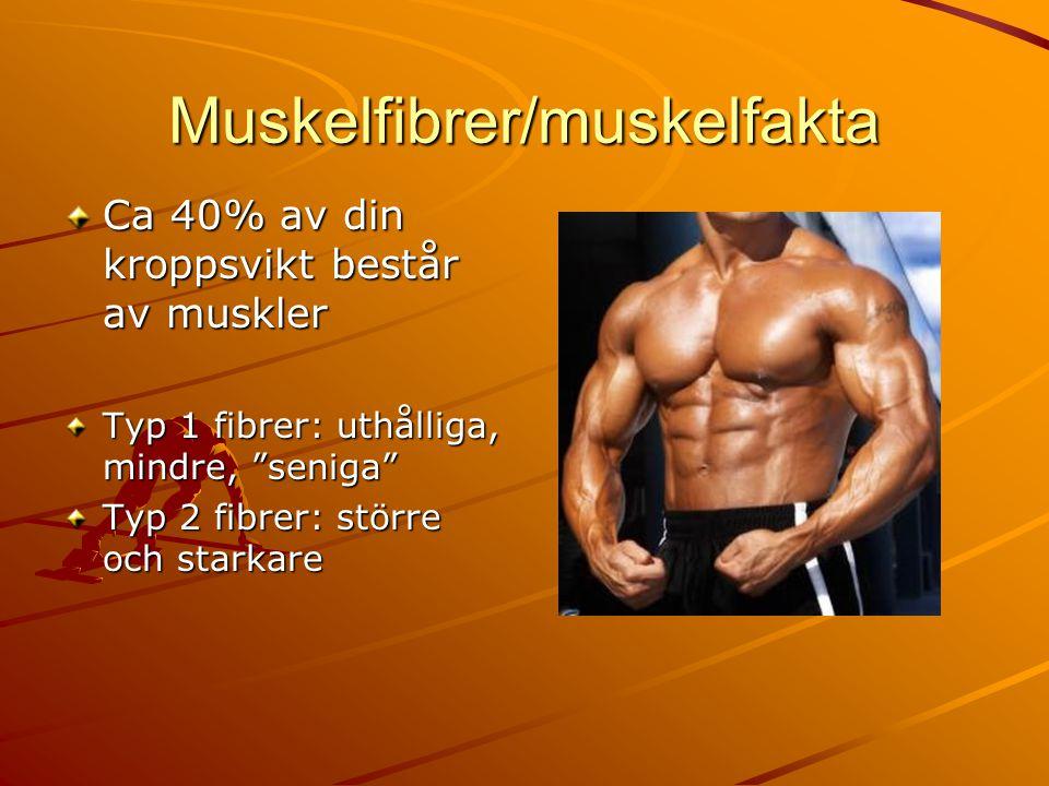 """Muskelfibrer/muskelfakta Ca 40% av din kroppsvikt består av muskler Typ 1 fibrer: uthålliga, mindre, """"seniga"""" Typ 2 fibrer: större och starkare"""