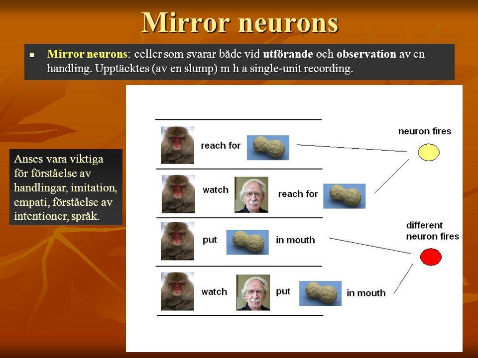 Mirror neurons Mirror neurons: celler som svarar både vid utförande och observation av en handling. Upptäcktes (av en slump) m h a single-unit recordi