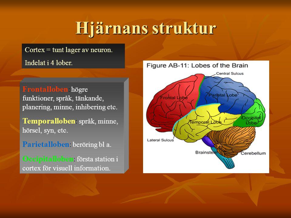Hjärnans struktur Cortex = tunt lager av neuron. Indelat i 4 lober. Frontalloben : högre funktioner, språk, tänkande, planering, minne, inhibering etc