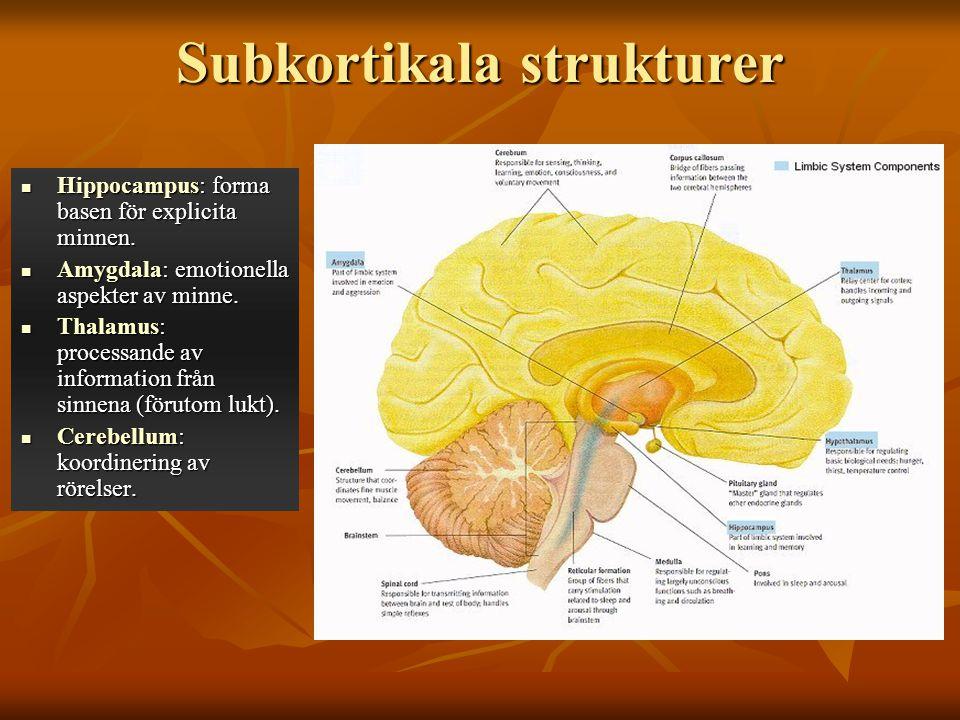 Subkortikala strukturer Hippocampus: forma basen för explicita minnen. Hippocampus: forma basen för explicita minnen. Amygdala: emotionella aspekter a