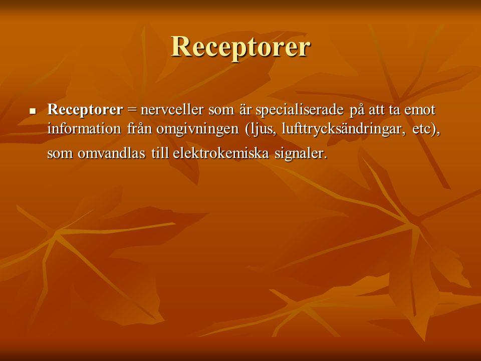 Receptorer Receptorer = nervceller som är specialiserade på att ta emot information från omgivningen (ljus, lufttrycksändringar, etc), som omvandlas t