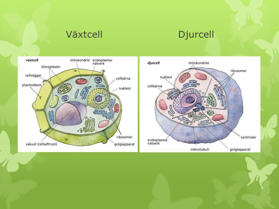 VäxtcellDjurcell