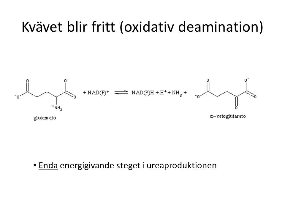 Kvävet blir fritt (oxidativ deamination) Enda energigivande steget i ureaproduktionen