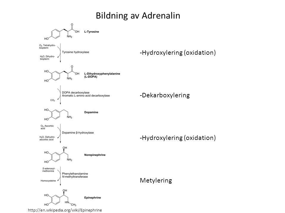 -Hydroxylering (oxidation) -Dekarboxylering -Hydroxylering (oxidation) Metylering Bildning av Adrenalin http://en.wikipedia.org/wiki/Epinephrine