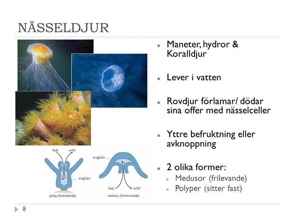 NÄSSELDJUR Maneter, hydror & Koralldjur Lever i vatten Rovdjur förlamar/ dödar sina offer med nässelceller Yttre befruktning eller avknoppning 2 olika