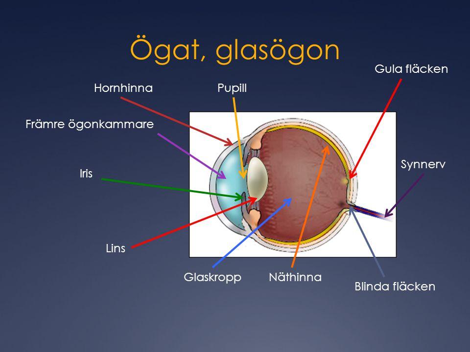 Ögat, glasögon Hornhinna Främre ögonkammare Iris Pupill Lins GlaskroppNäthinna Gula fläcken Blinda fläcken Synnerv