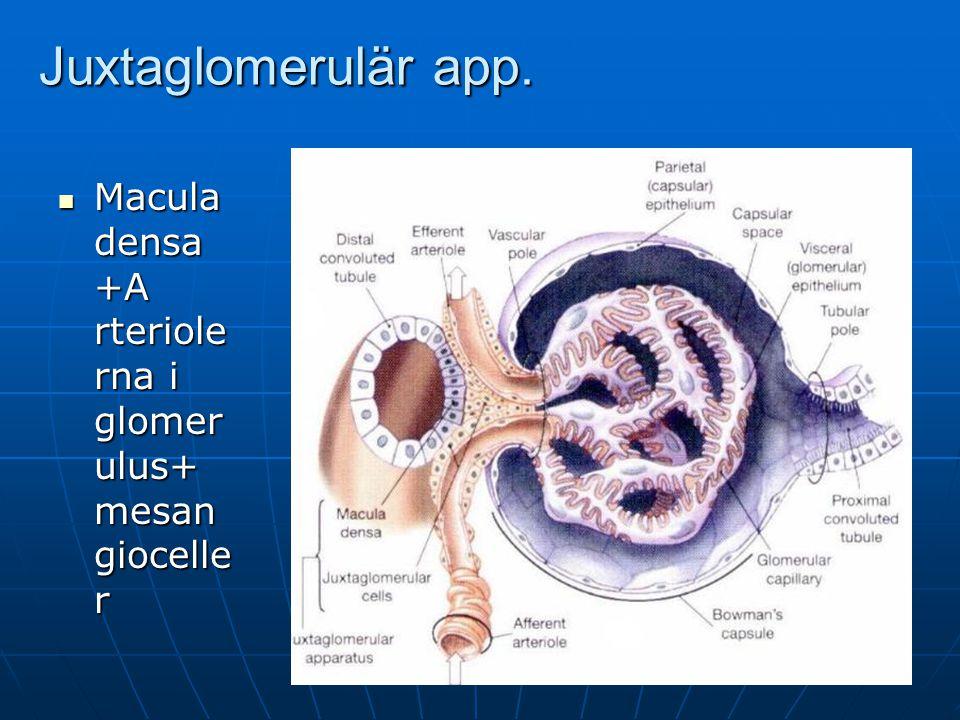 Juxtaglomerulär app. Macula densa +A rteriole rna i glomer ulus+ mesan giocelle r Macula densa +A rteriole rna i glomer ulus+ mesan giocelle r