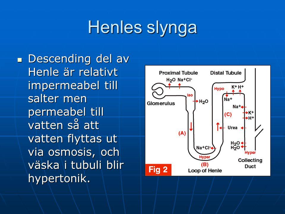Henles slynga Descending del av Henle är relativt impermeabel till salter men permeabel till vatten så att vatten flyttas ut via osmosis, och väska i tubuli blir hypertonik.