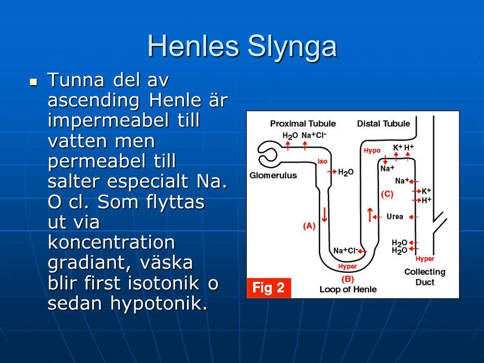 Henles Slynga Tunna del av ascending Henle är impermeabel till vatten men permeabel till salter especialt Na.