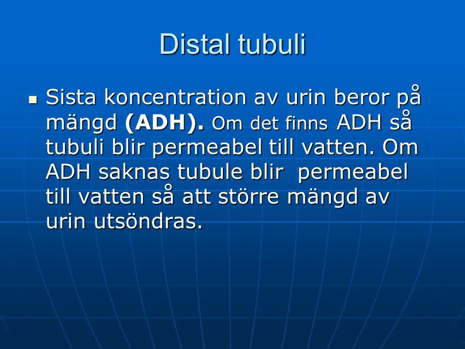 Distal tubuli Sista koncentration av urin beror på mängd (ADH). Om det finns ADH så tubuli blir permeabel till vatten. Om ADH saknas tubule blir perme