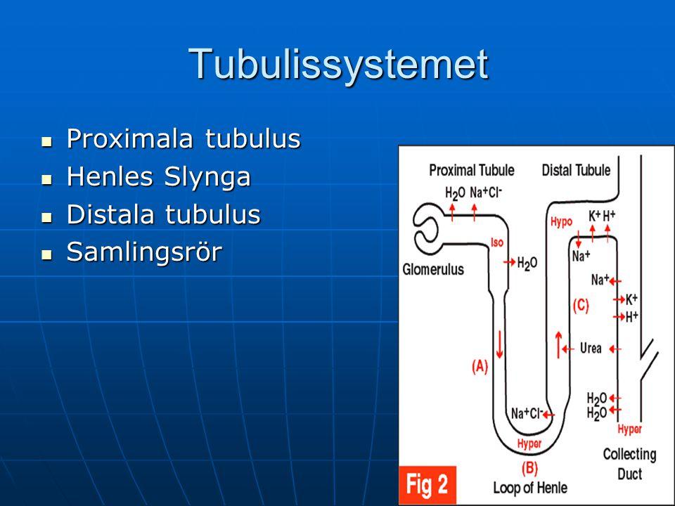 Tubulissystemet Proximala tubulus Proximala tubulus Henles Slynga Henles Slynga Distala tubulus Distala tubulus Samlingsrör Samlingsrör