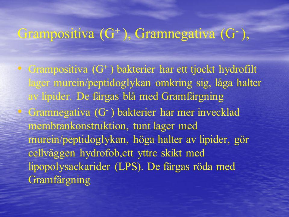 Grampositiva (G + ), Gramnegativa (G - ), Grampositiva (G + ) bakterier har ett tjockt hydrofilt lager murein/peptidoglykan omkring sig, låga halter av lipider.