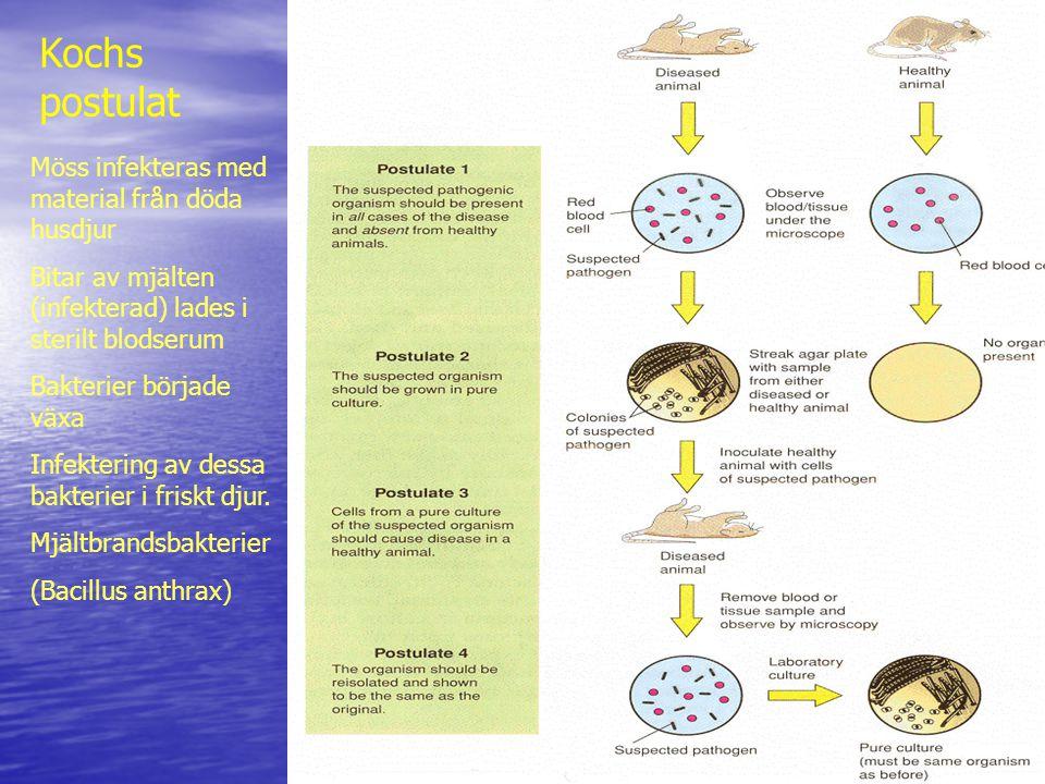 Kochs postulat Möss infekteras med material från döda husdjur Bitar av mjälten (infekterad) lades i sterilt blodserum Bakterier började växa Infektering av dessa bakterier i friskt djur.