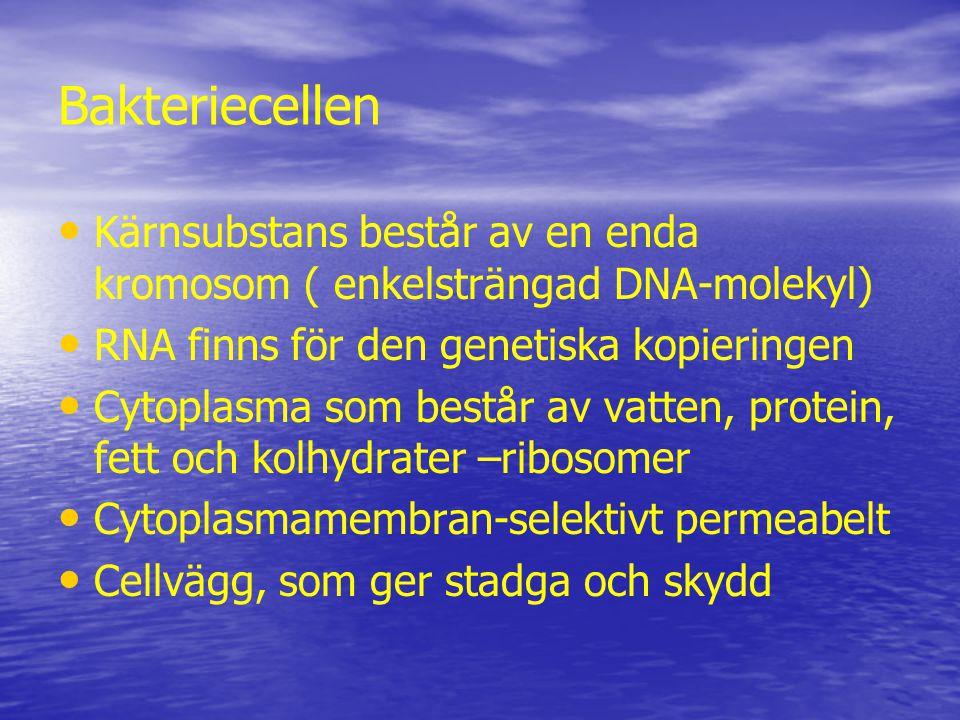 Bakteriecellen Kärnsubstans består av en enda kromosom ( enkelsträngad DNA-molekyl) RNA finns för den genetiska kopieringen Cytoplasma som består av vatten, protein, fett och kolhydrater –ribosomer Cytoplasmamembran-selektivt permeabelt Cellvägg, som ger stadga och skydd