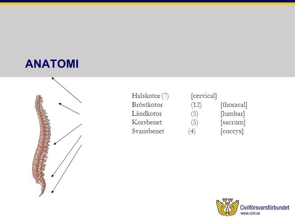 ANATOMI Halskotor(7)[cervical] Bröstkotor(12)[thoracal] Ländkotor(5)[lumbar] Korsbenet(5)[sacrum] Svansbenet (4)[coccyx]
