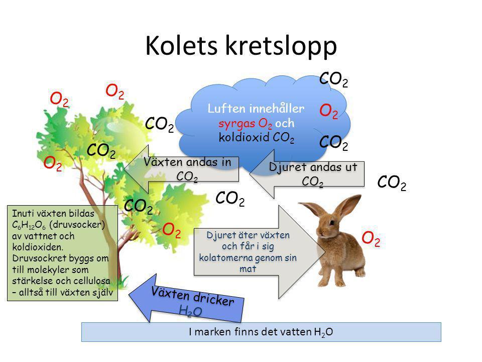 Kolets kretslopp Luften innehåller syrgas O 2 och koldioxid CO 2 CO 2 O2O2 O2O2 O2O2 O2O2 O2O2 Växten andas in CO 2 CO 2 O2O2 I marken finns det vatten H 2 O Växten dricker H 2 O Inuti växten bildas C 6 H 12 O 6 (druvsocker) av vattnet och koldioxiden.