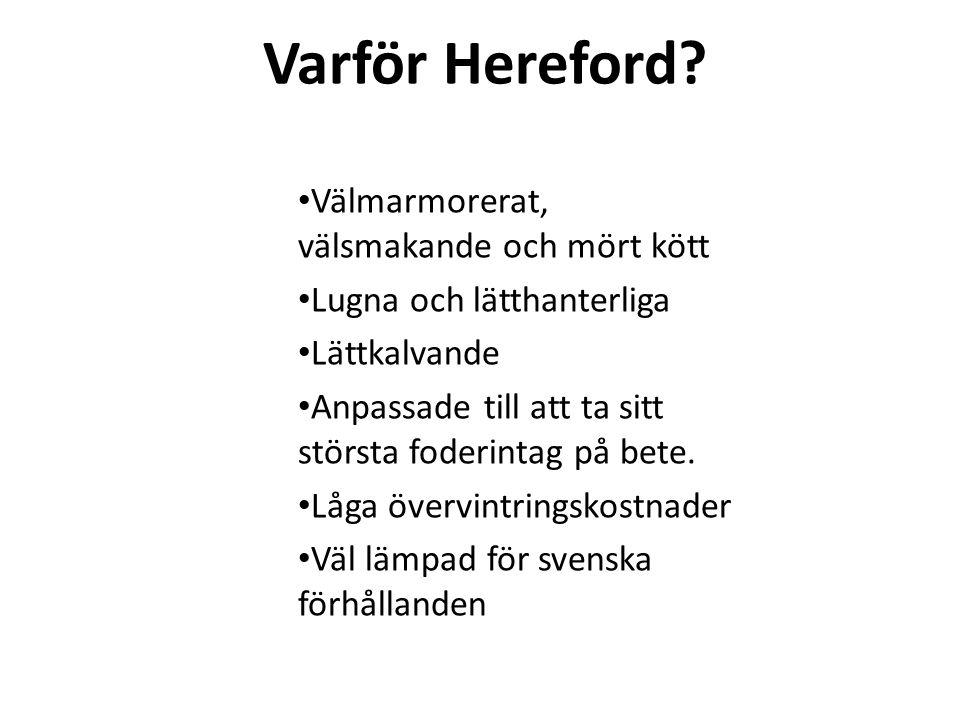 Varför Hereford? Välmarmorerat, välsmakande och mört kött Lugna och lätthanterliga Lättkalvande Anpassade till att ta sitt största foderintag på bete.