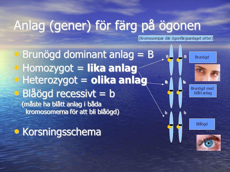 Anlag (gener) för färg på ögonen Brunögd dominant anlag = B B B Brunögd dominant anlag = B B B Homozygot = lika anlag Homozygot = lika anlag Heterozyg