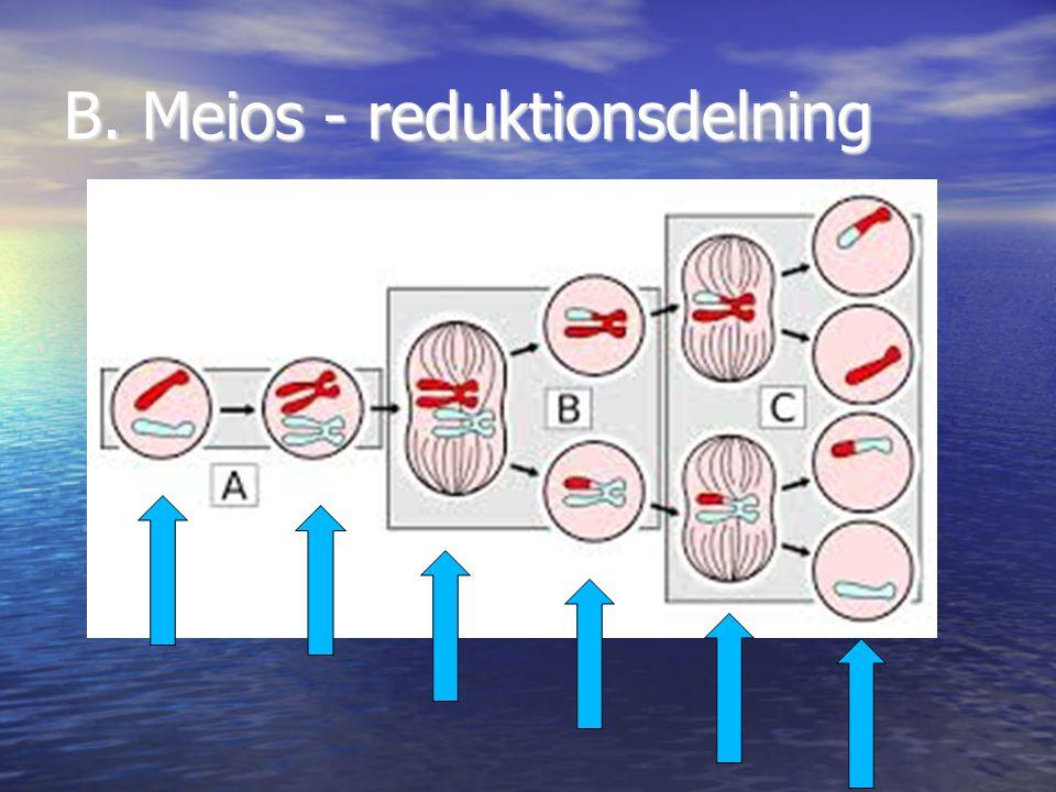 B. Meios - reduktionsdelning