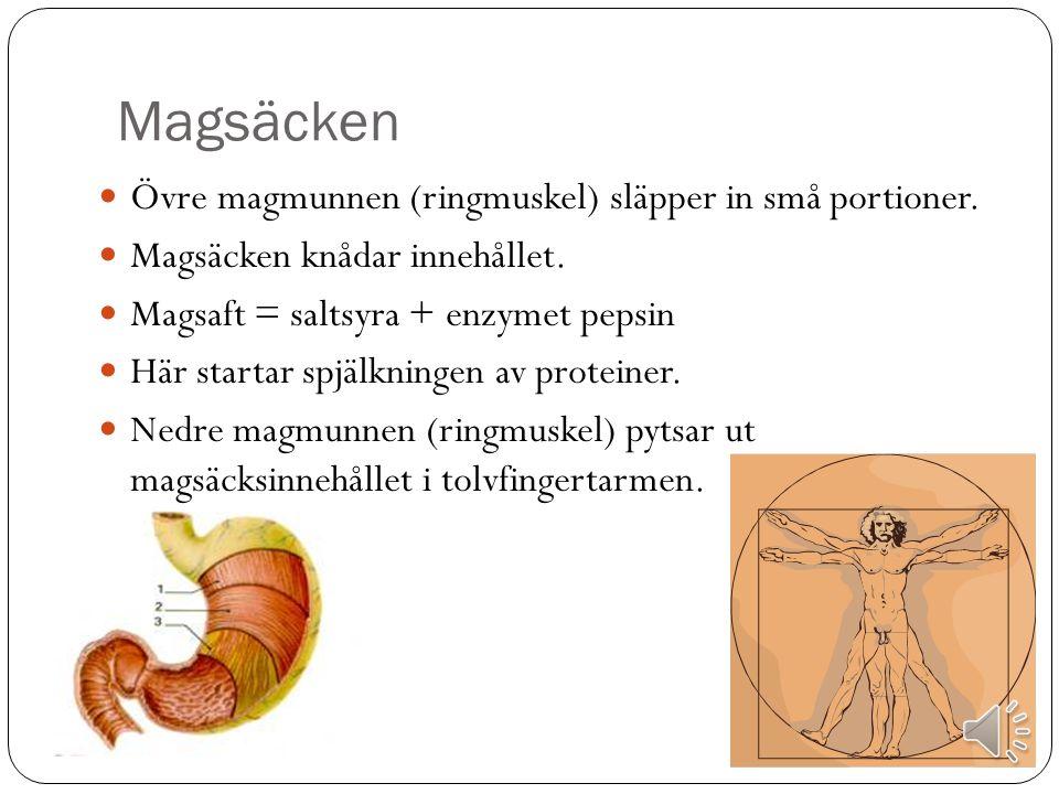 Ner mot magsäcken Sväljreflexen utlöses Struplocket täpper för luftstrupen och matstrupen öppnas Söndermald mat kramas ner mot magsäcken (peristaltik) Ner till övre magmunnen