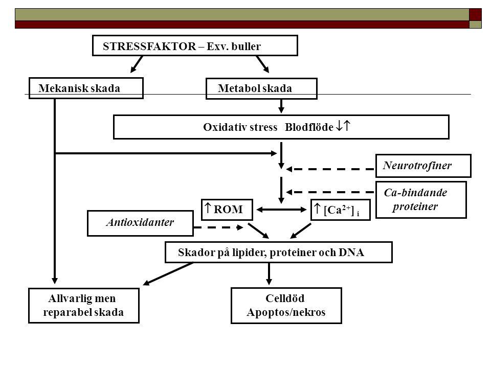 4 kHz 20 kHz Tid Tröskelförändring (dB) Förbehandling med antioxidanter skyddar mot bullerskada Vitamin C & E Ulfendahl et al 2006 Behandling: 24 tim före trauma + 4 veckor efter (dvs.