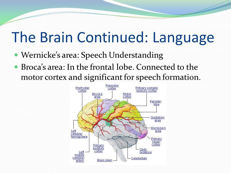 The Brain Continued: Language Wernicke's area: Speech Understanding Broca's area: In the frontal lobe.