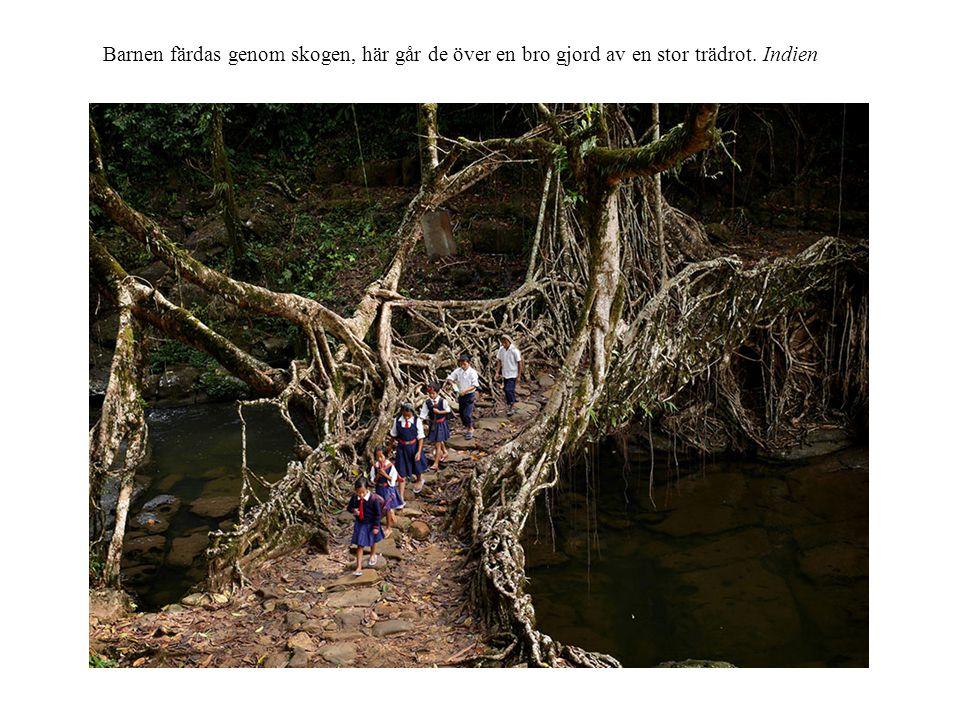 Barnen färdas genom skogen, här går de över en bro gjord av en stor trädrot. Indien